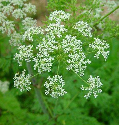 Болиголов (Aconitum. Aconitum napellus)