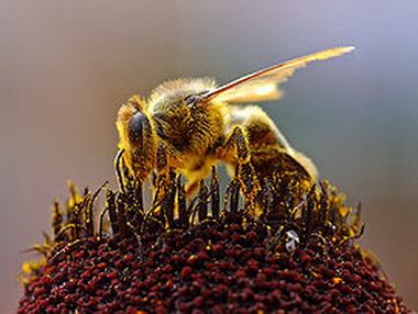 Пчелиный яд. Симптомы