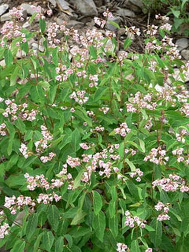 Собачья капуста (Apocynum androsaemifolium)
