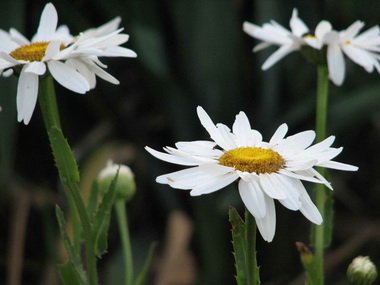 Обыкновенная ромашка  (Chamomilla. Chamomilla vulgaris)