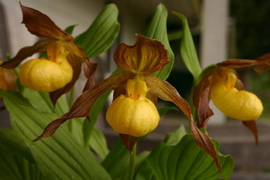 Циприпедиум (Cipripedium.  Cipripedium pubescens)