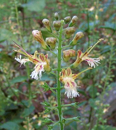 Коллинсония (CoUinsonia. CoUinsonia canadensis)