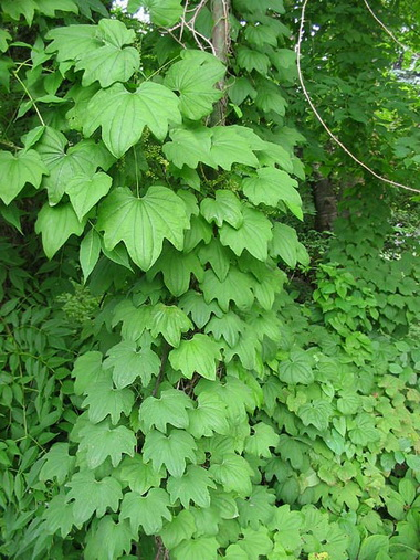 Диоскорея (Dioscorea. Dioscorea villosa)