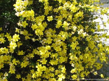Желтый жасмин  (Gelseminum. Gelseminum sempevirens)