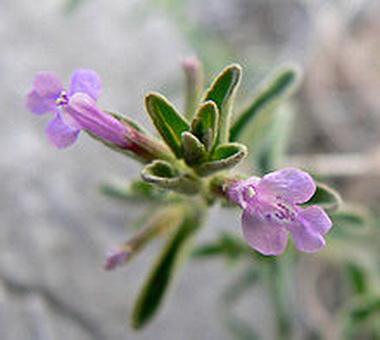 Американский полей (Hedeoma.  Hedeoma pulegiodes)