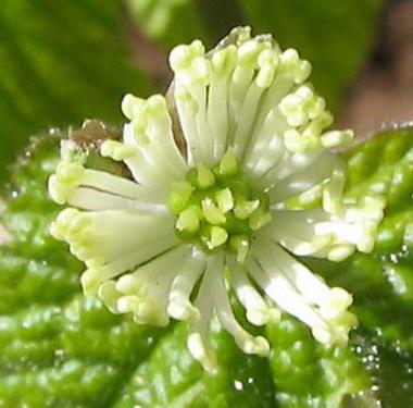 Гидрастис канадензис (Hydrastis. Hydrastis canadensis)