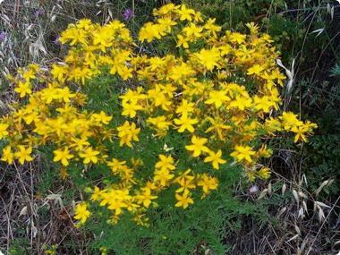 Зверобой (Hypericum. Hypericum perfoliatum)