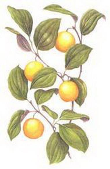 Игнация амара (Ignatia amara)