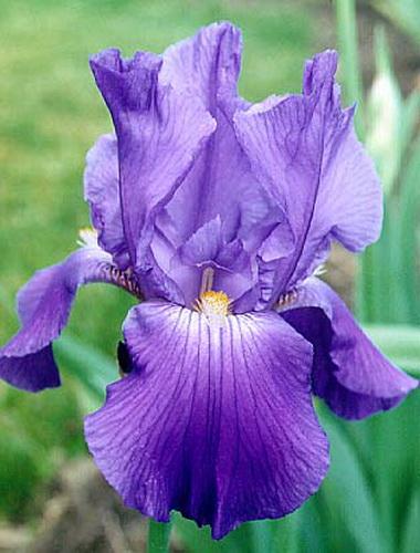 Ирис. Касатик (Iris versicolor)