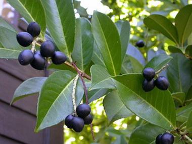 Лавровишневое дерево (Laurocerasus)
