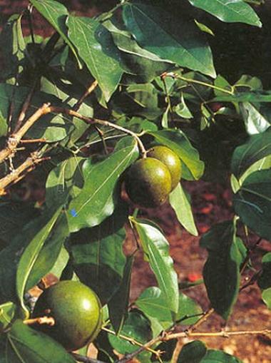 Чибулиха (Nux vomica)