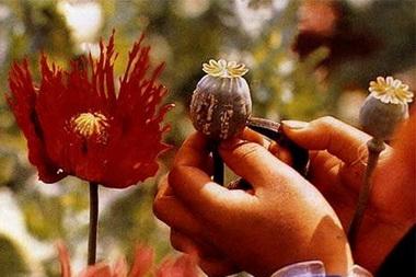 Опий (Opium)
