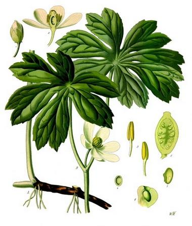 Адамова голова. Майское яблоко (Podophyllum. Podophyllum peltatum)