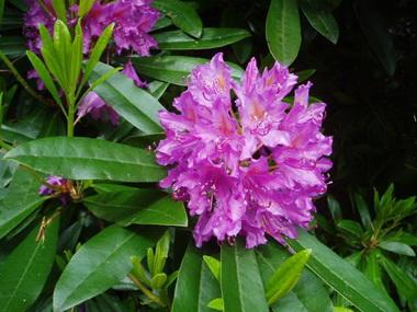 Рододендрон  (Rhododendron. Rhododendron chrysanthum )