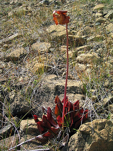 Саррацения пурпуреа (Sarracenia purpurea.  Sarracenia)