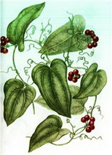 Сарсапариль (Sarsaparilla)