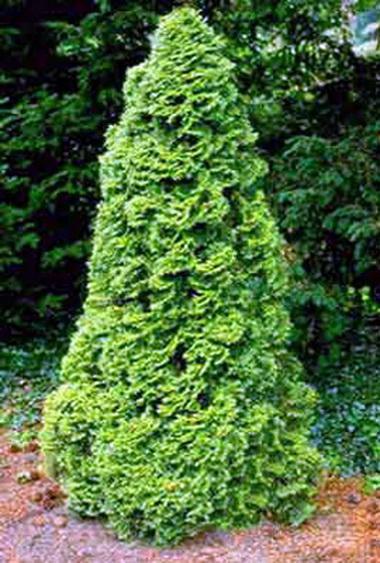 Жизненное дерево (Thuja. Thuja occidentalis)