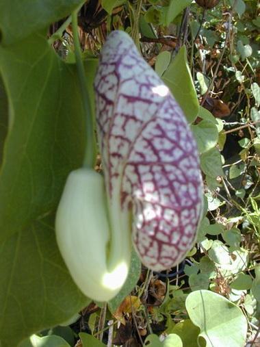 Кирказон (Trillium. Trillium pendulum)