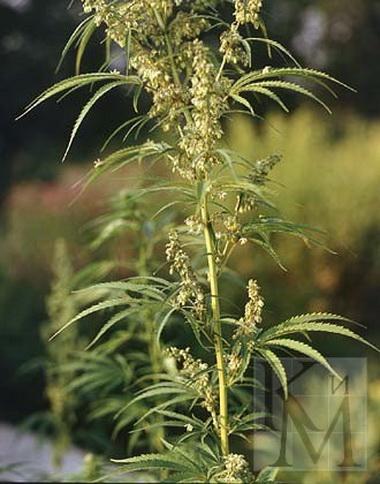 Индийская конопля. Гашиш (Cannabis indica)
