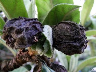 Лавровишневое дерево. Симптомы
